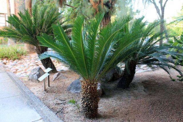 Cycads Tree