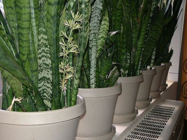Minimalist Home Garden with Sansevieria