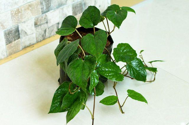 Ivory Betel Plants