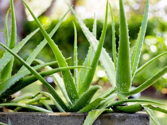 Aloe Vera Plants That Have Many Benefits.jpg