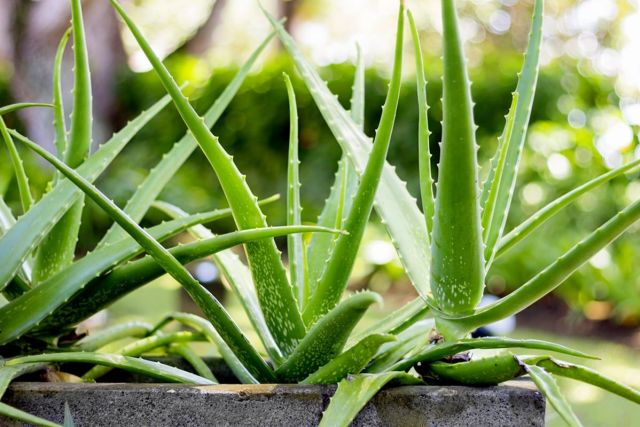 Aloe Vera Plants that Have Many Benefits