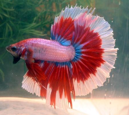 Bi ColoursBetta Fish