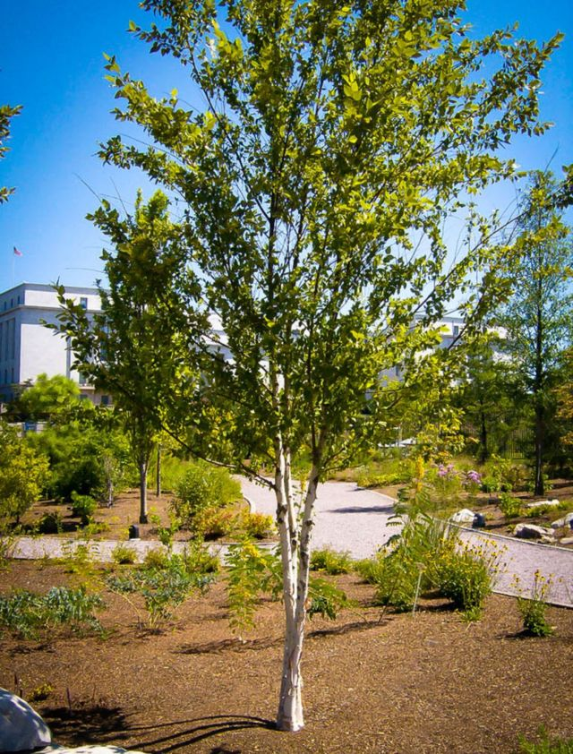 Birch Trees that Have Many Benefits