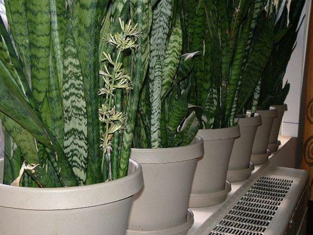 Minimalist Home Garden with Sansevieria