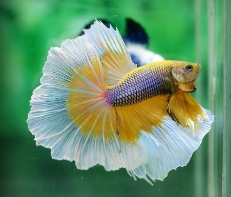 Mustard GasBetta Fish
