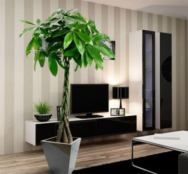 Pachira plants