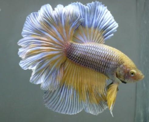 PineappleBetta Fish