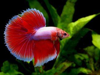 Types Of Betta Fish.jpg
